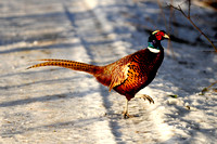 pheasant in snow 001