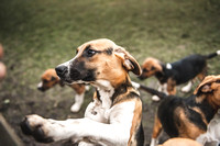 Percy Hound Exercise at Kennels-1