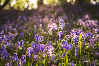 Cotswold Bluebell Woods-2