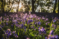 Cotswold Bluebell Woods-4