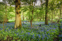 Cotswold Bluebell Woods-6