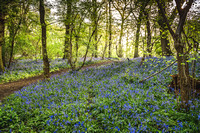 Cotswold Bluebell Woods-9
