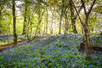 Cotswold Bluebell Woods-10