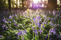 Cotswold Bluebell Woods-15