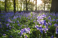 Cotswold Bluebell Woods-18