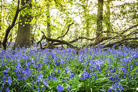 Cotswold Bluebell Woods-19