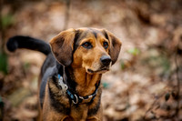Gwen the coonhound/beagle